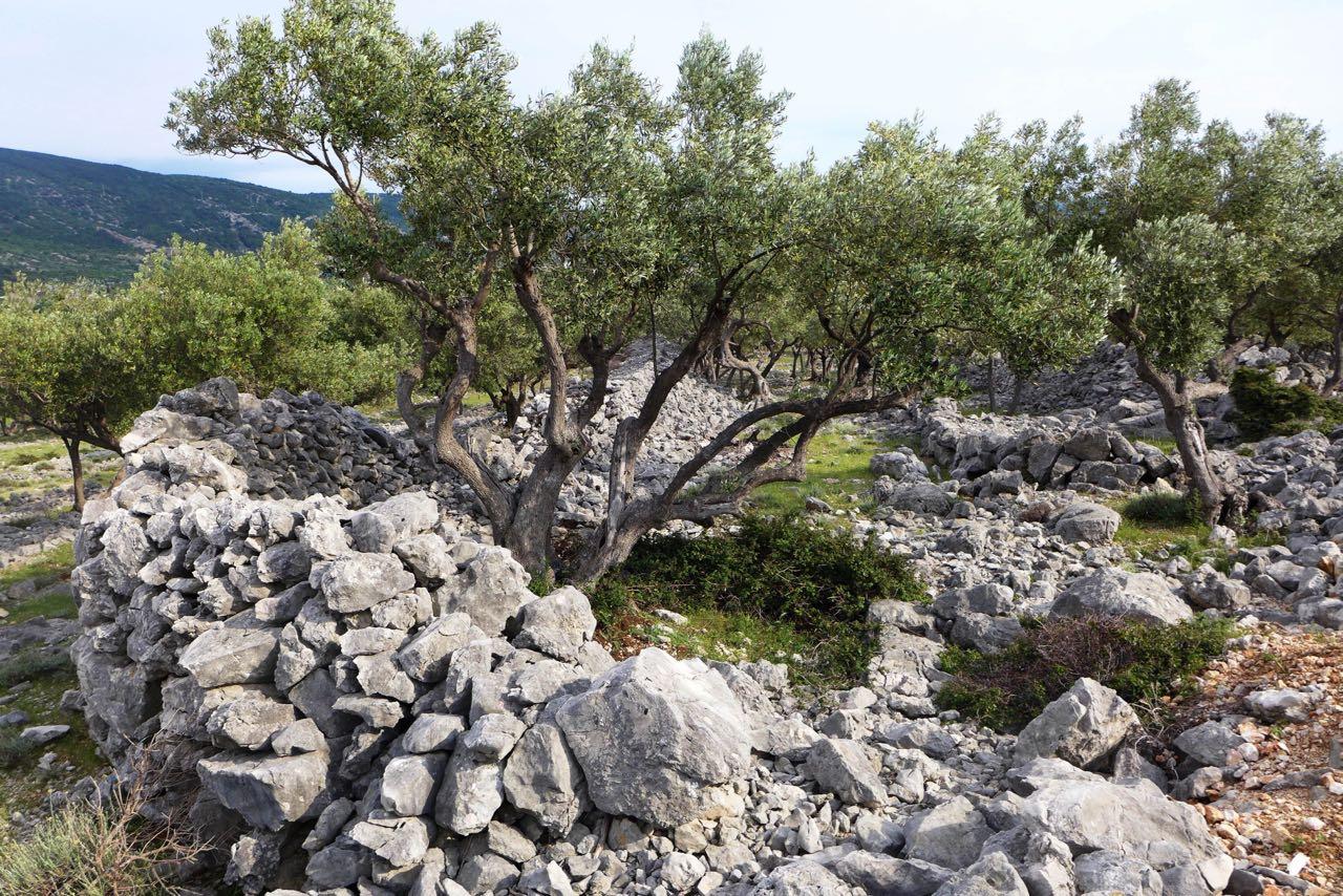 Mauer-Kunstwerk, die Olivenhaine von Cres