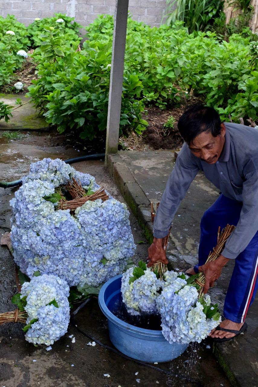 Hortensien Ernte für Balis tägliche Opfergaben