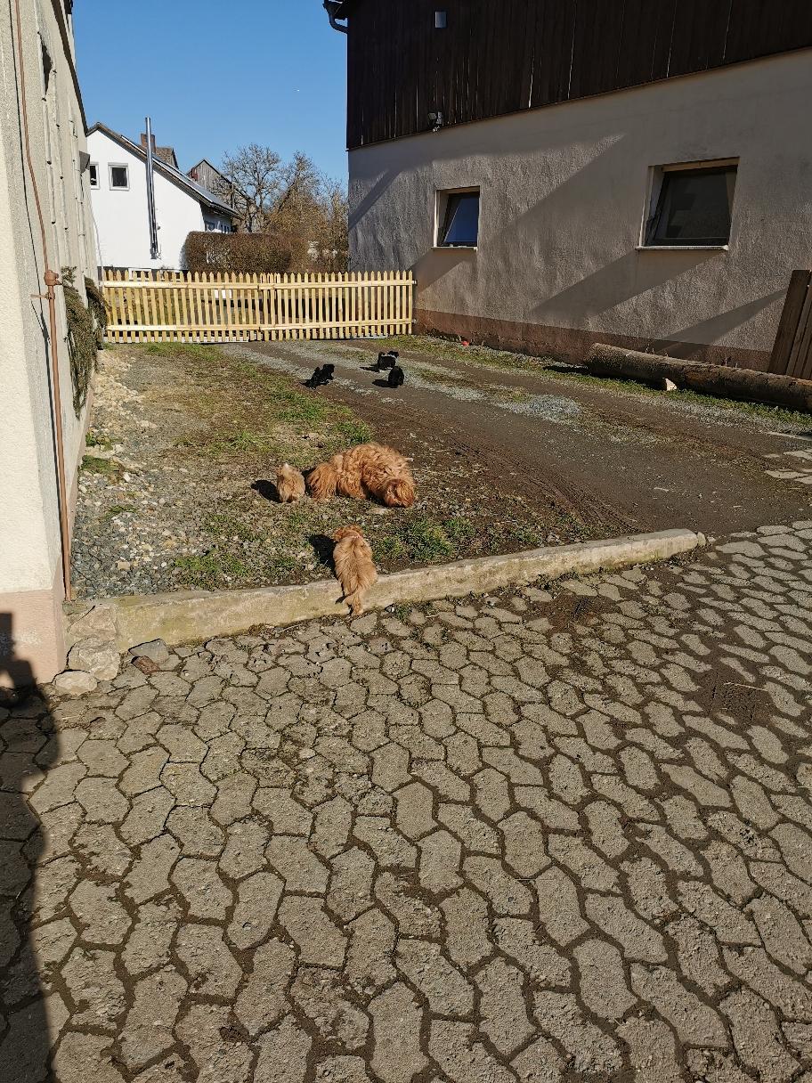 Das erste Mal zu unserem Bauernhof gefahren. Alle Welpen hatten Spaß. Blümchen und wir hatten Stress, sie rannten in alle Richtungen.