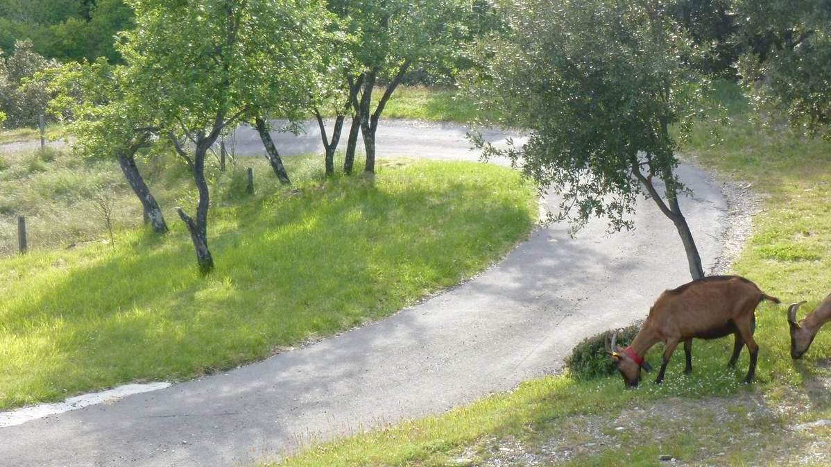 Au printemps les chèvres se régalent d'herbe tendre dehors