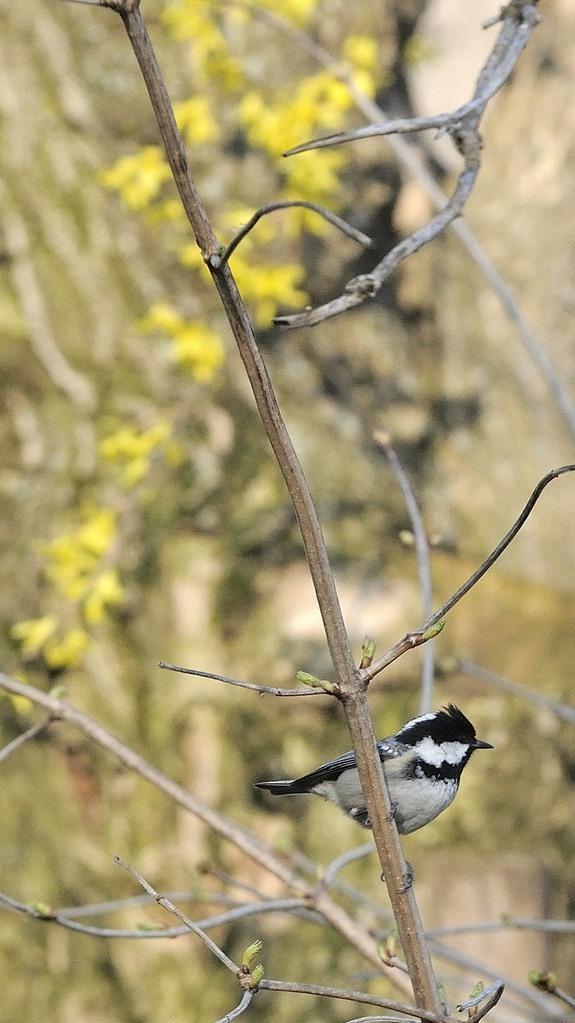 La mésange noire, une autre résidente permanente