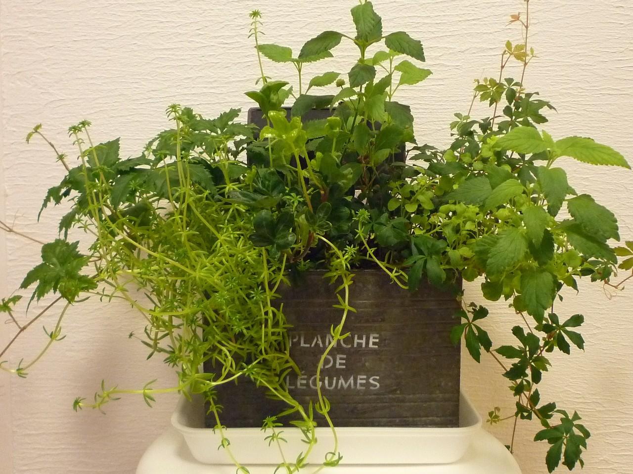植物の寄せ植えも元気です