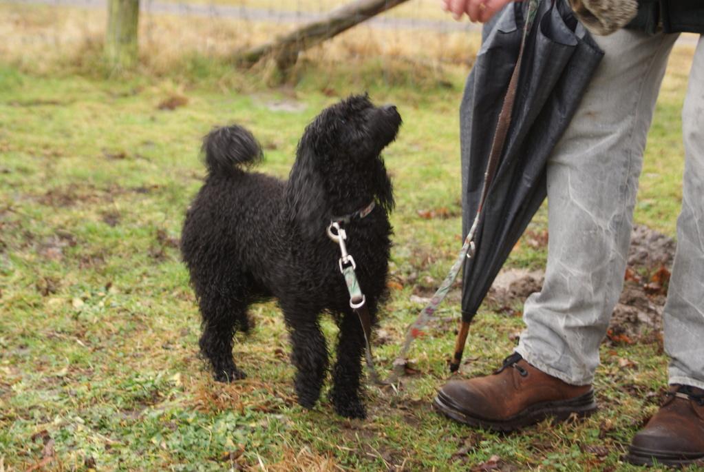 Hundetausch 2 (Cavalier King Charles gegen Kleinpudel)