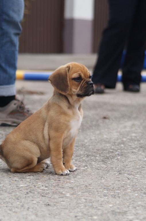 """halb Mops, halb Beagle - ein sog. """"Puggle"""""""