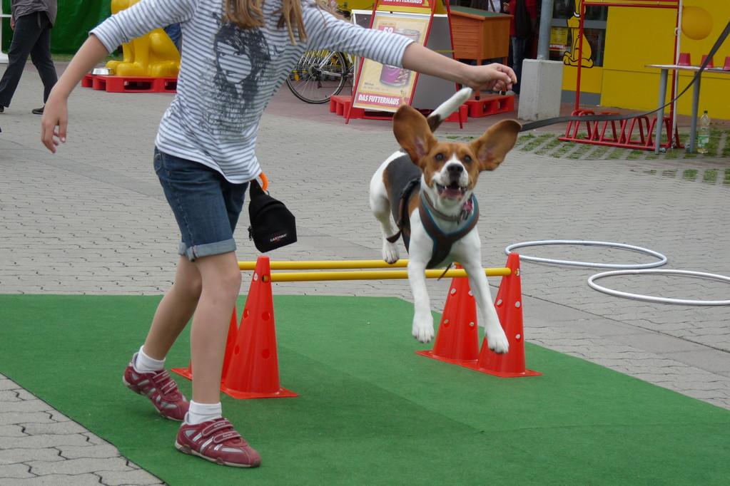 ja, so ein Beagle hat echt riesige Ohren :-)