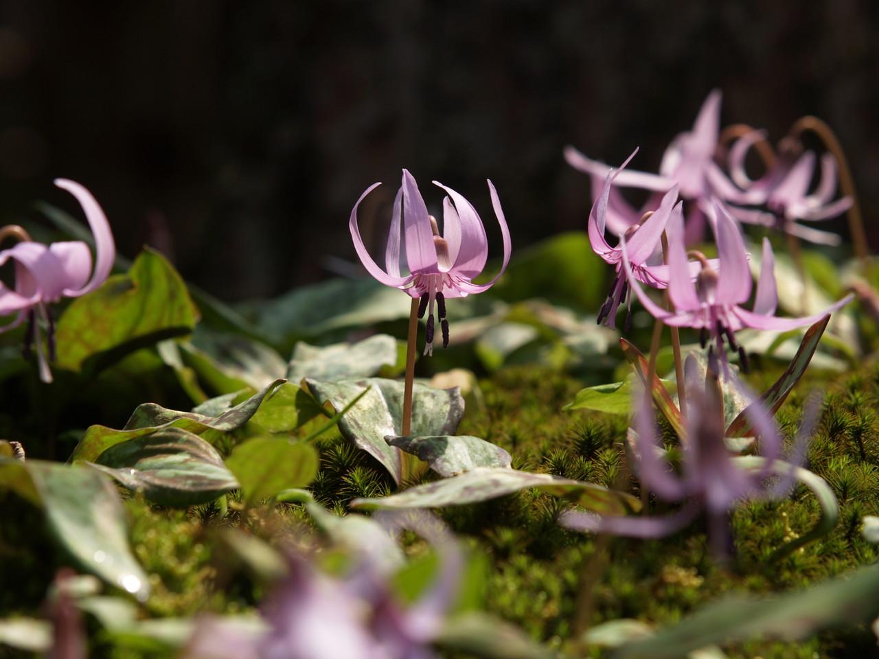 西南濃の四季~春~カタクリの花