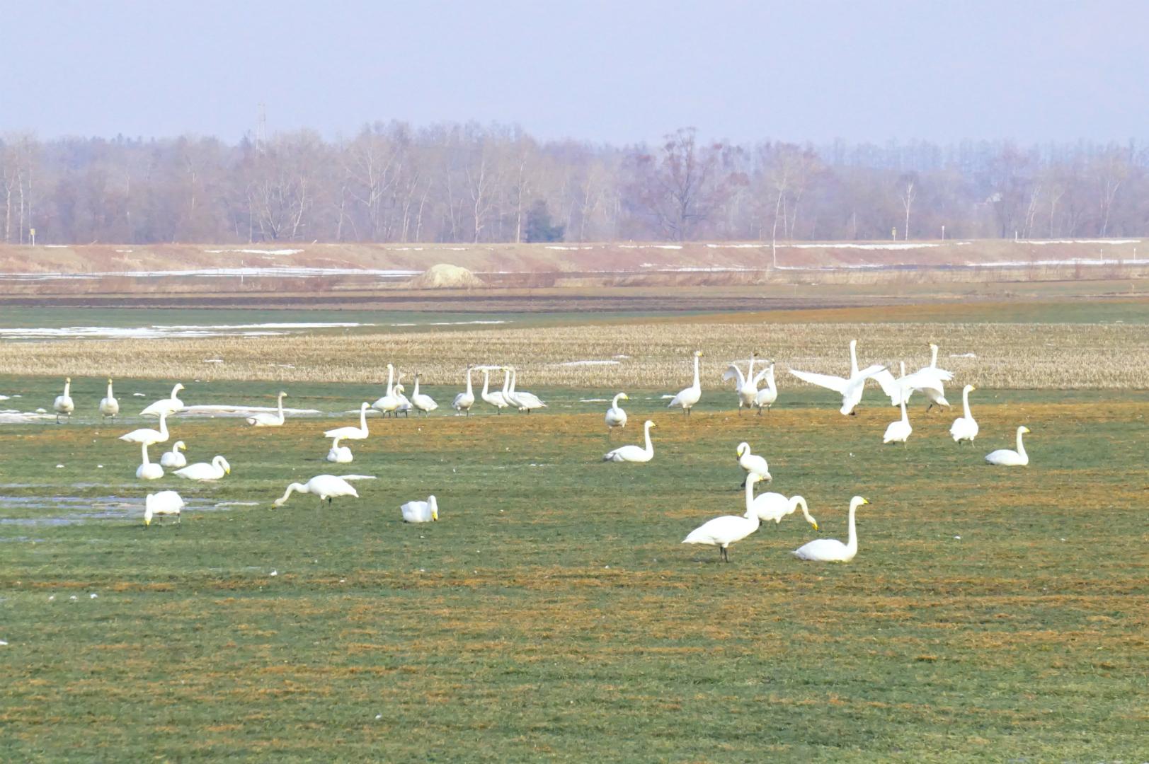 春の畑と白鳥の群れ