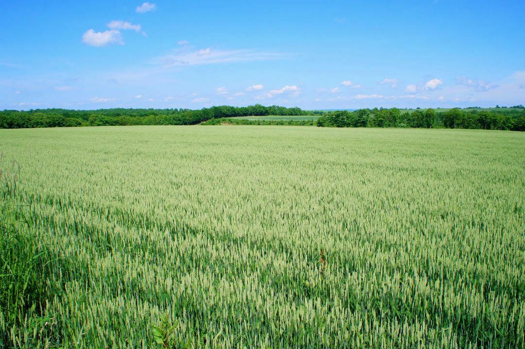 広がる小麦畑