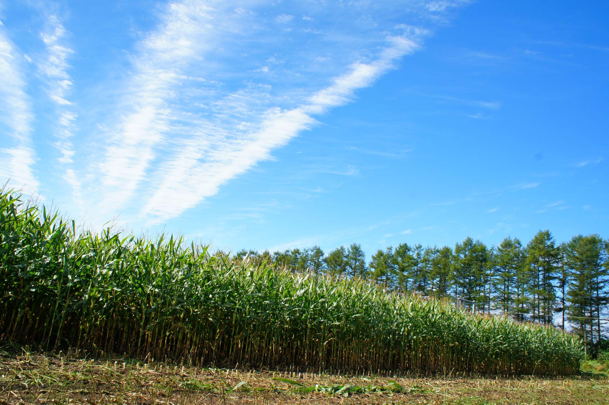 夏のデントコーン畑