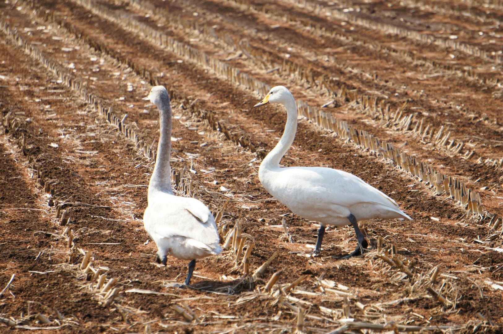 春の畑に降り立つ白鳥