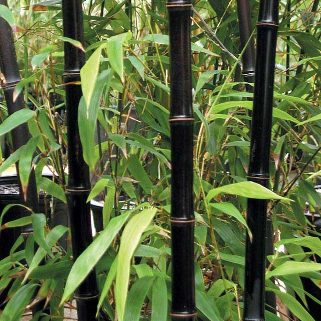 bambu' nero