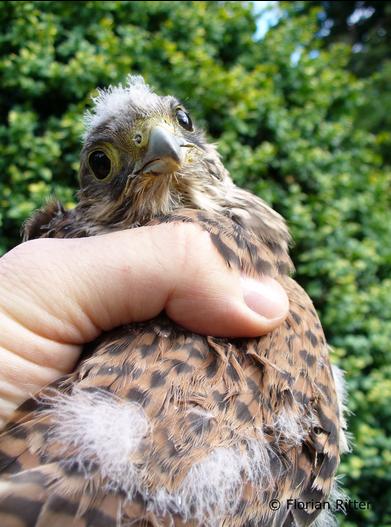 Junger Turmfalke (Falco tinnunculus), Foto: Florian Ritter
