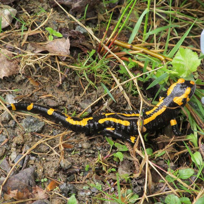 Feuersalamander (Salamandra salamandra), Foto: S. Spellerberg