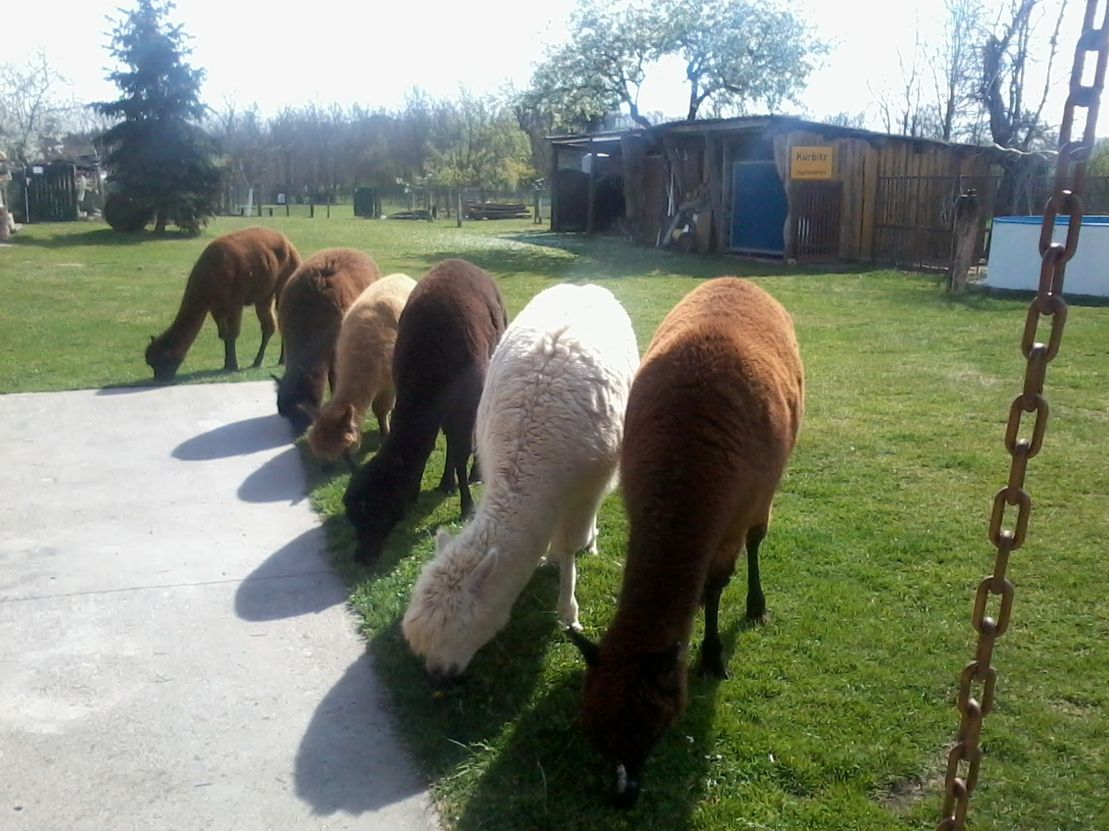 Alpaka als Rasenmäher