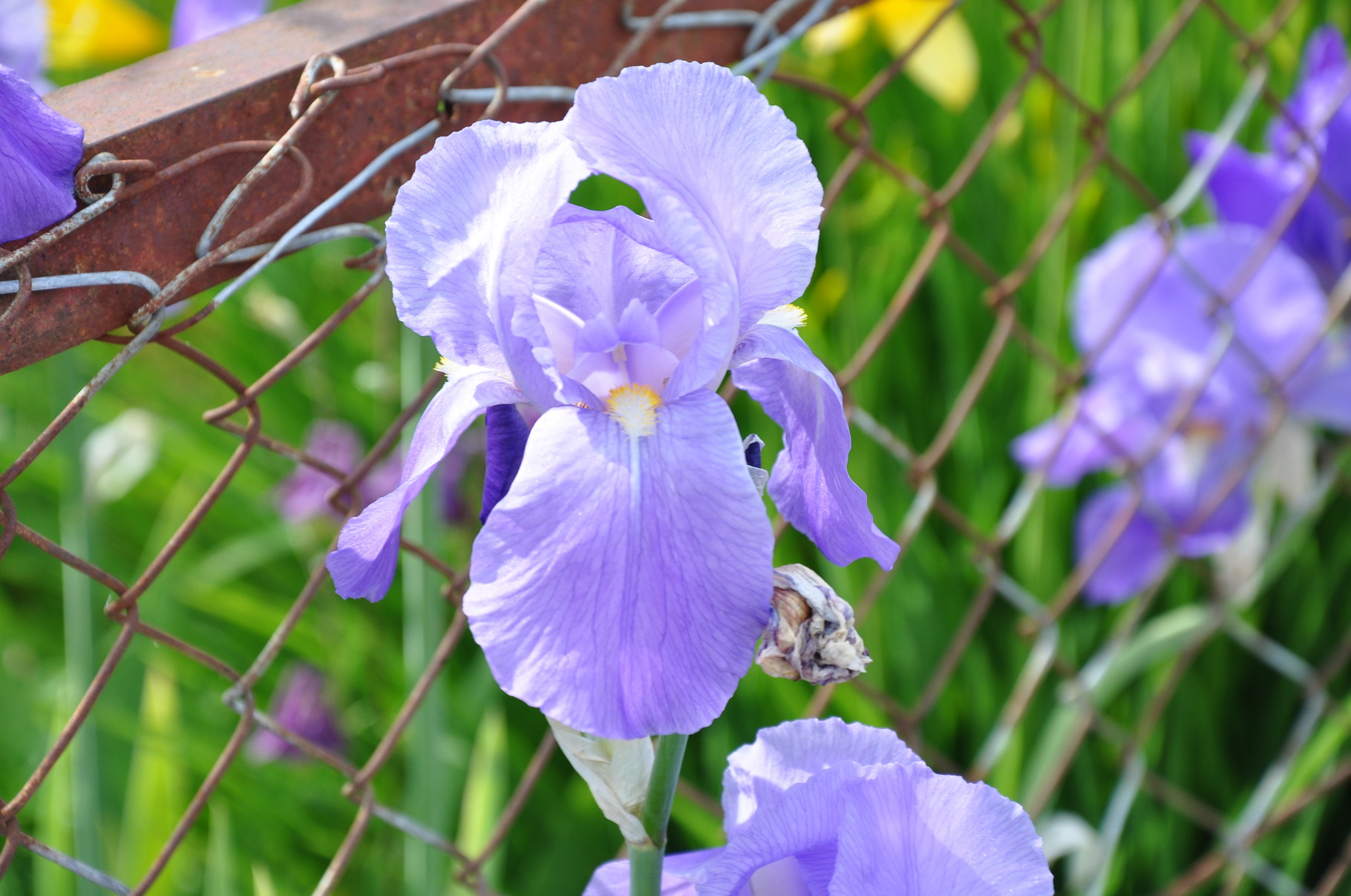 """""""Blaue Iris"""" alte Sorte die schon seit mehr als 80 Jahre im Garten steht"""