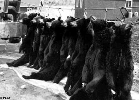 peaux fourrure ours brun noir canada bearskin bear skin