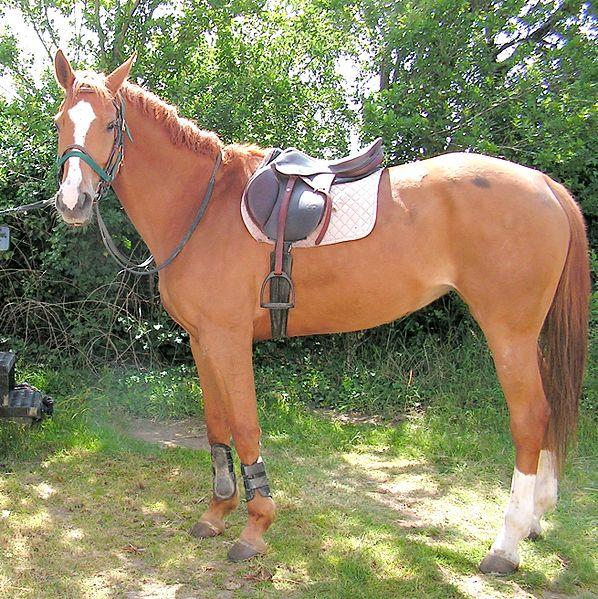 cheval selle francais fiche chevaux origine comportement race caractere