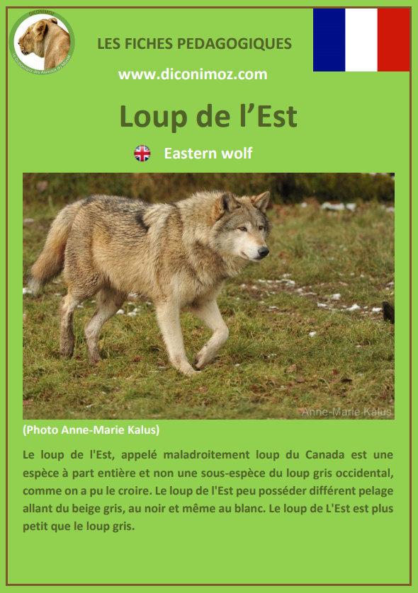 loup de l'est fiche pédagogique pdf à télécharger et a imprimer pour la maison ou pour l'école eastern wolf