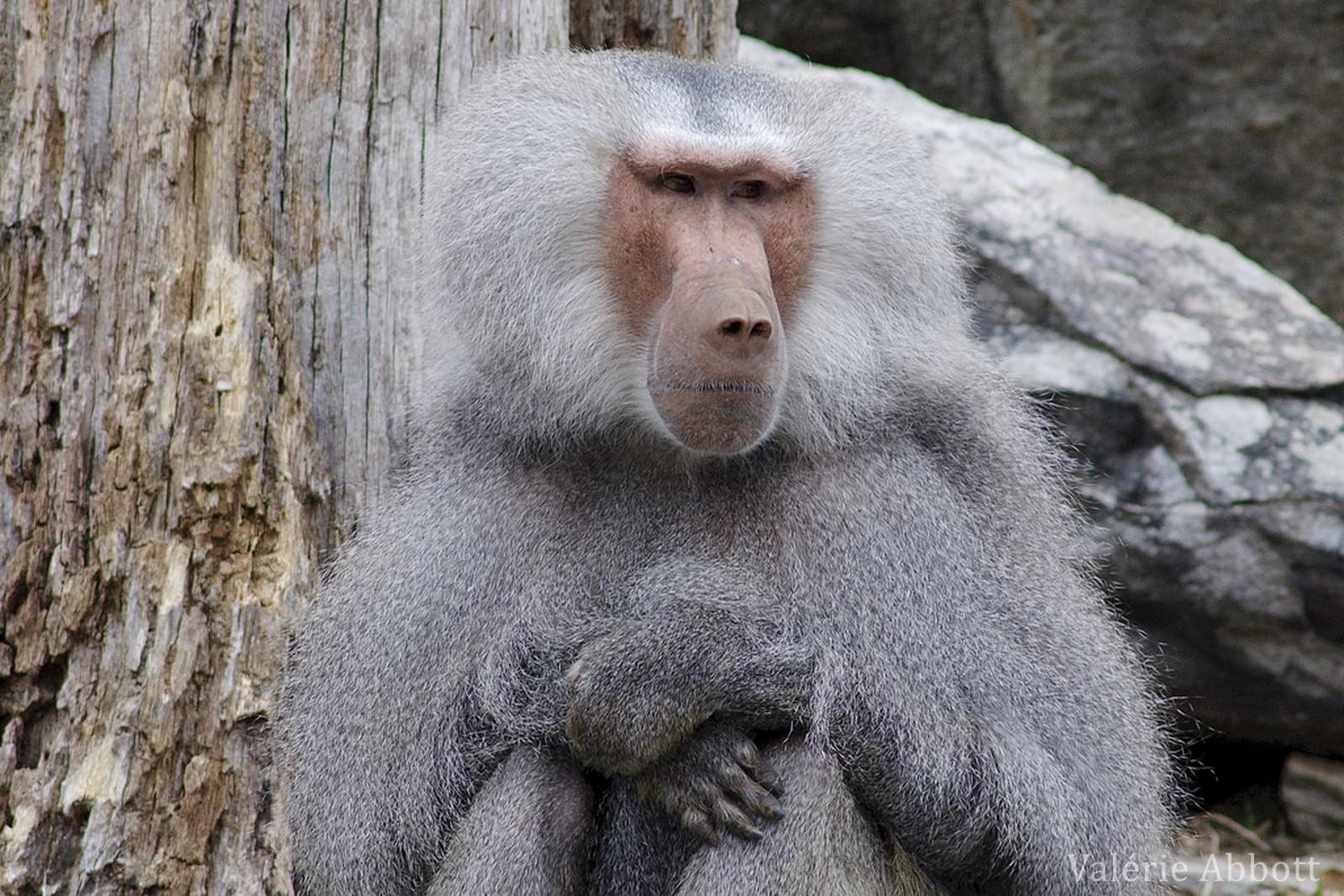 L'hamadryas, ce singe sacré au pelage argenté !