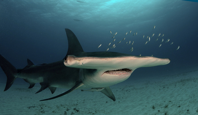 grand requin marteau fiche poisson mer animaux oceans animal facts great hammerhead
