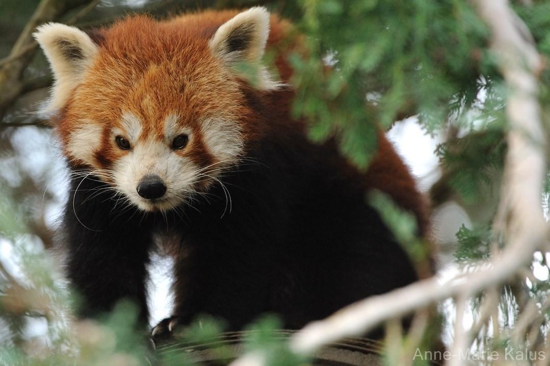 Panda roux dictionnaire des animaux diconimoz - Coloriage panda roux mandala ...