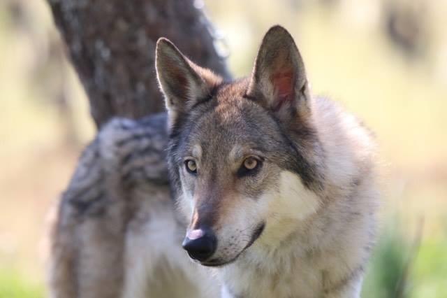 chien loup tchecoslovaque race chien fiche identité caractere comportement origine
