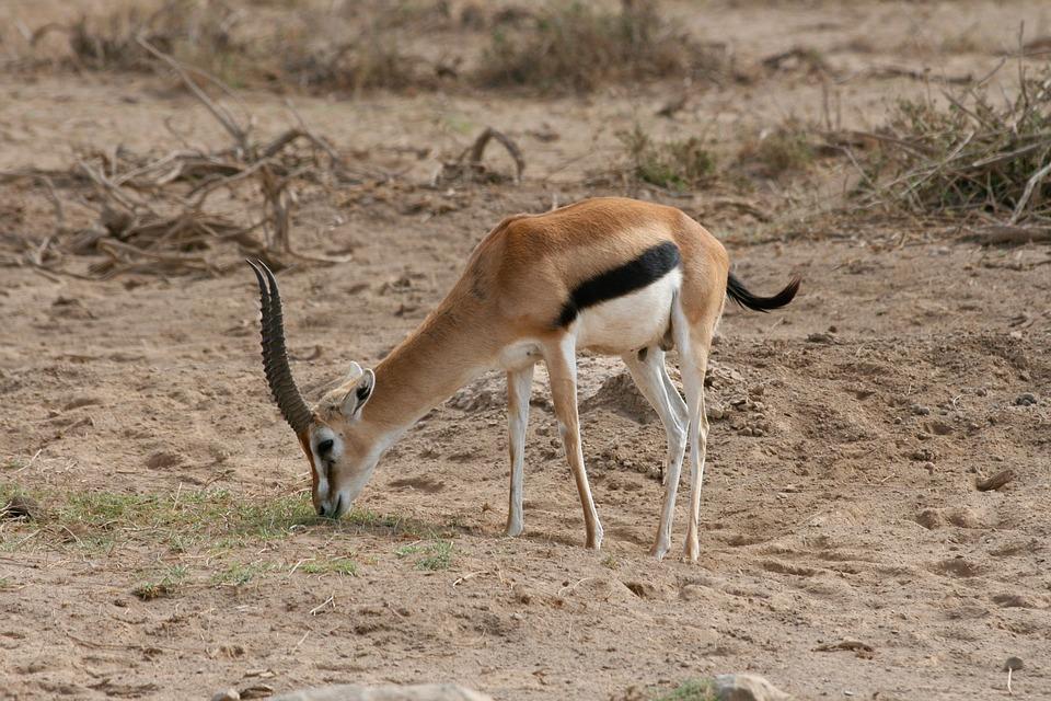 Gazelle de Tomson