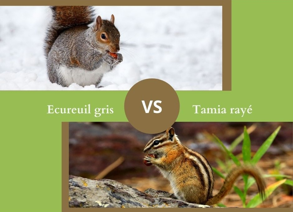 Savez vous différencier l'écureuil gris du tamia rayé ?