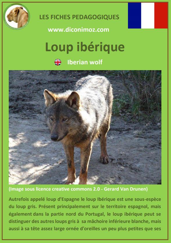 loup iberique espagnol fiche pédagogique pdf à télécharger et a imprimer pour la maison ou pour l'école iberian wolf