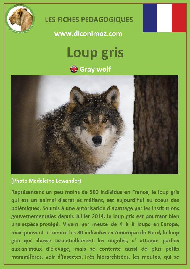 loup gris fiche pédagogique pdf à télécharger et a imprimer pour la maison ou pour l'école gray wolf