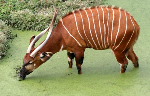 bongo antelope animal fact fiche animaux antilope afrique