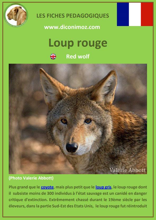 loup rouge fiche pédagogique pdf à télécharger et a imprimer pour la maison ou pour l'école red wolf