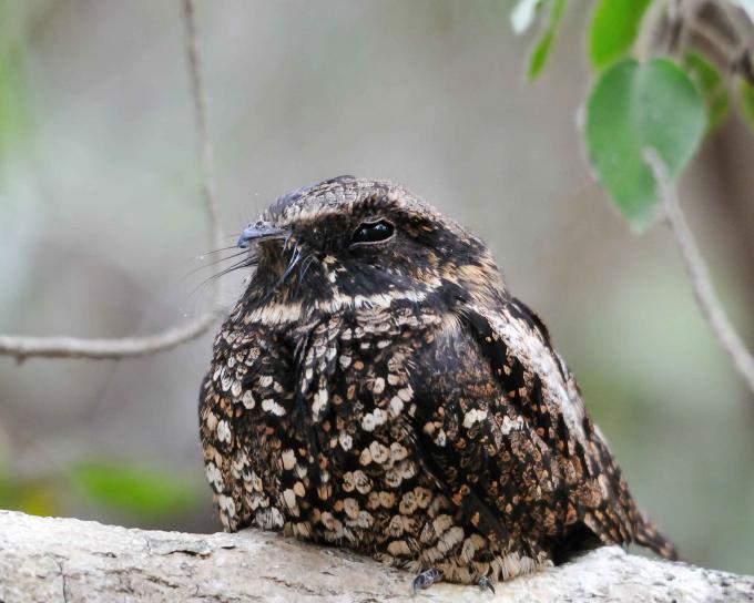 engoulevent hibernation animaux qui hibernent oiseaux
