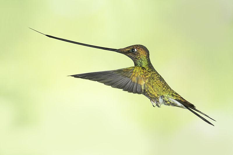 Ce colibri possède un bec de plus de 10 cm de long