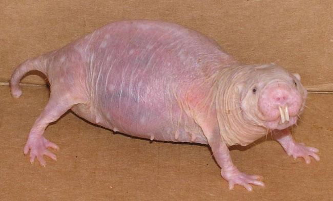 rat taupe nu fiche identification rongeur animaux afrique naked-mole rat fact hideux horrible animal