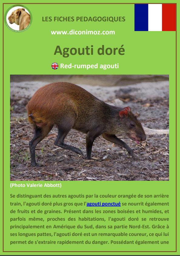 fiche animaux pedagogique pdf agouti doré à telecharger et a imprimer pour l' ecole ou la maison