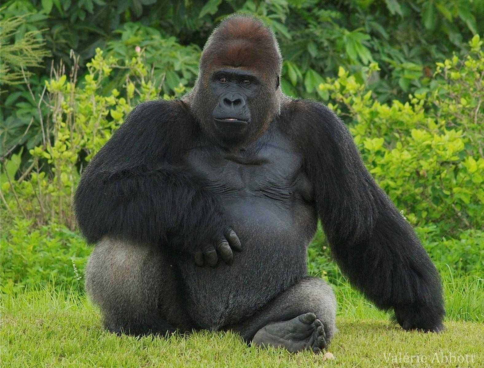 Le gorille, ce primate qui possède un ADN similaire à l'homme à près de 98%