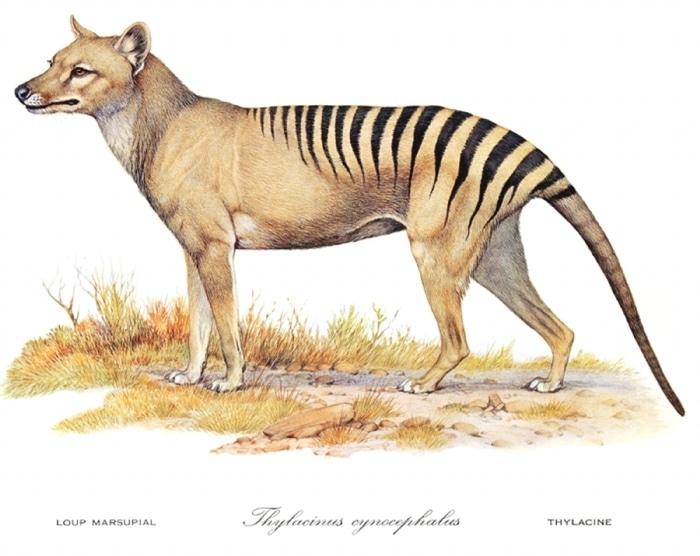 nouveaute fiches animaux disparus tigre tasmanie thylacine tasmanian tiger crytptozoologie