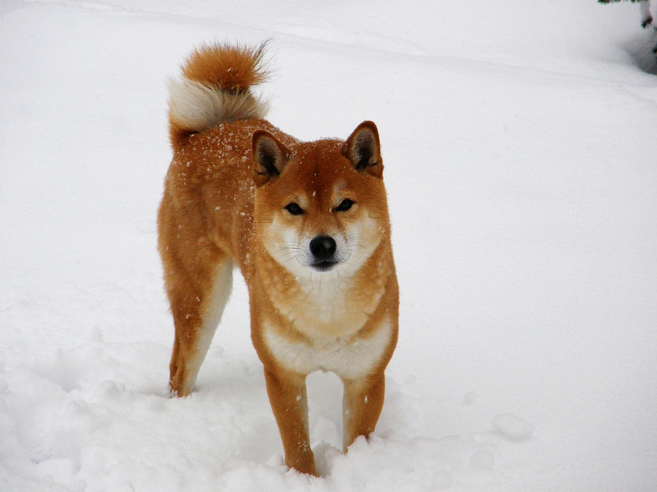 Un adorable compagnon : le shiba inu