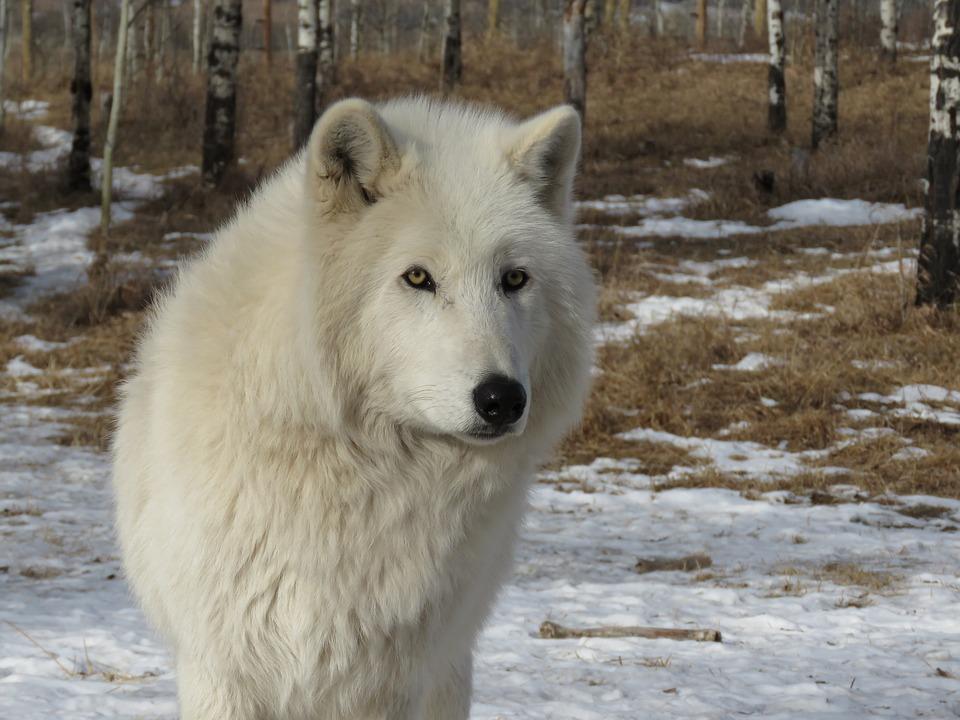 Loup arctique dictionnaire des animaux diconimoz - Babouin et belette ...