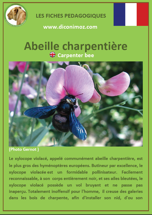 fiche animaux abeille charpentiere xylocope violacee a telecharger et a imprimer insecte jardin