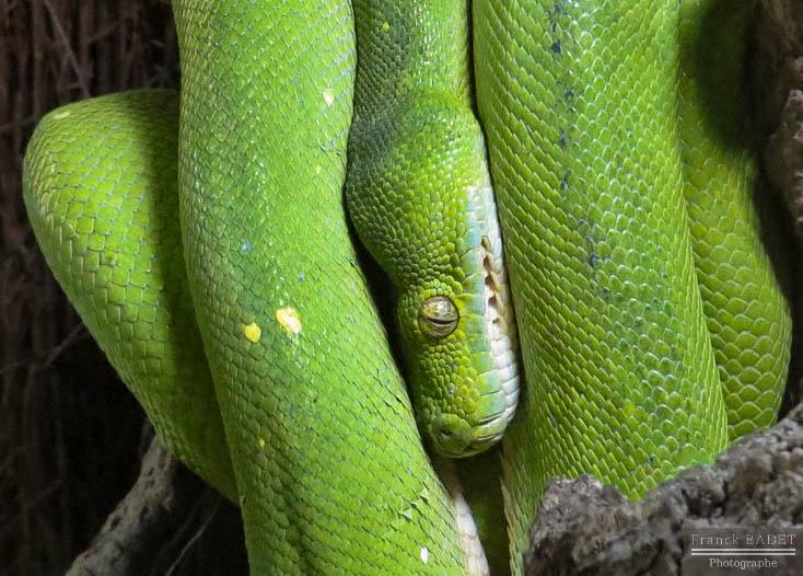 python vert fiche animaux serpent morelia viridis reptile indonesie australie nouvelle guinee