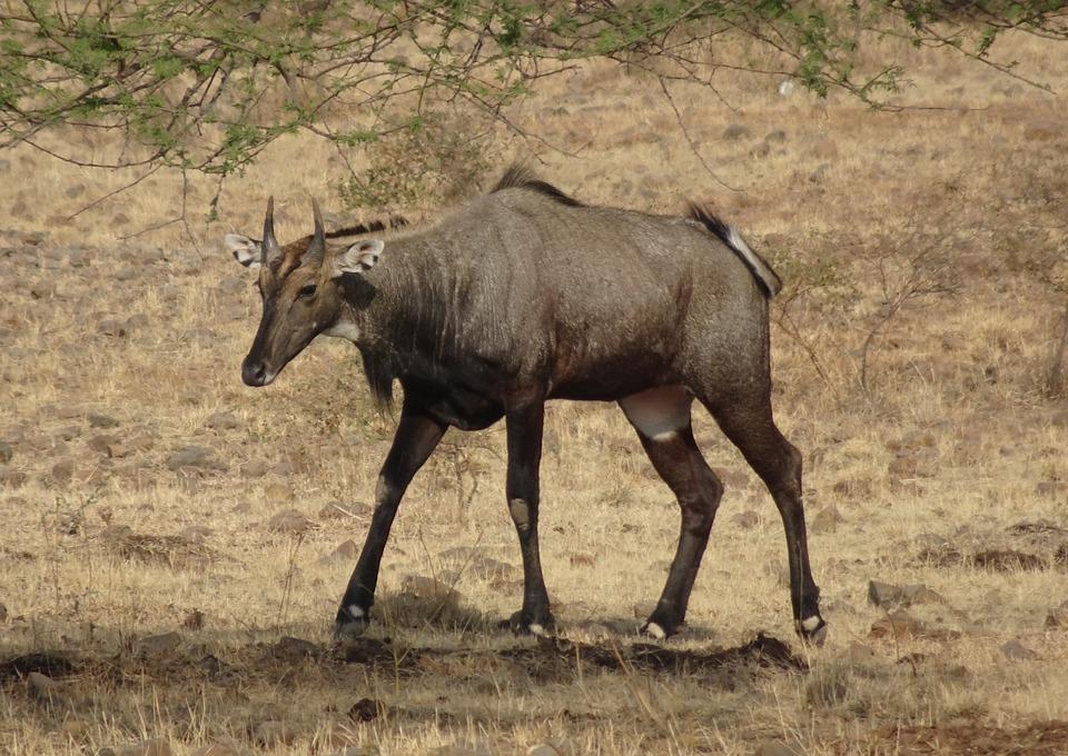 Le nilgaut est la plus grande antilope d'Asie