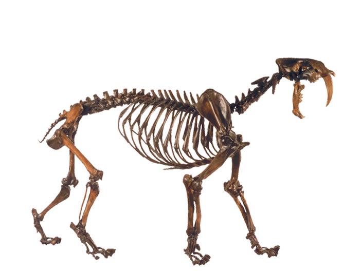 squelette smilodon tigre dents de sabre