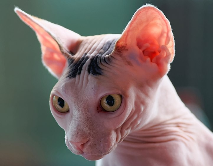 sphynx fiche chat comportement taille poids alimentation caractere origine