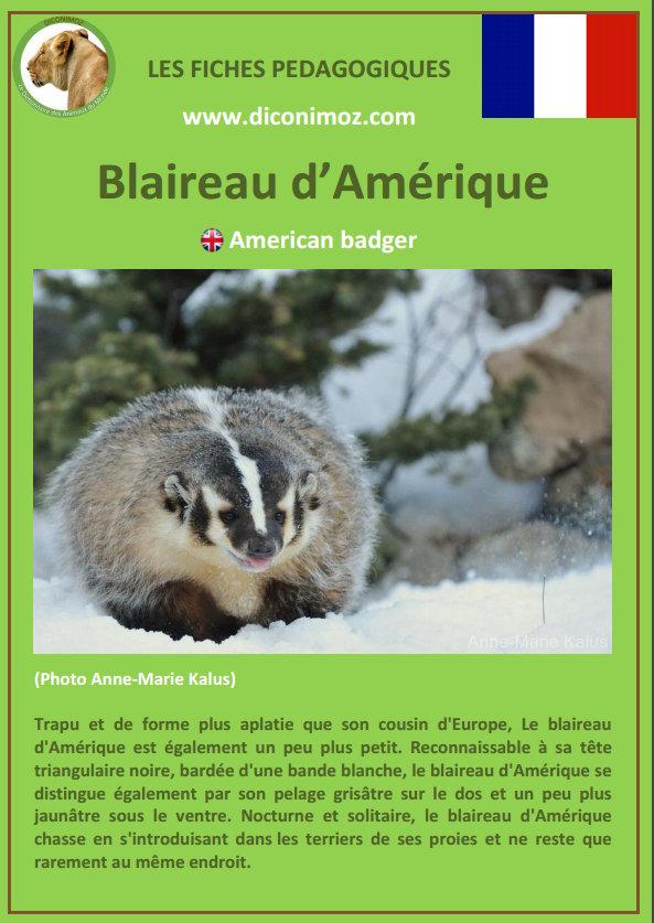 fiche animaux pdf download blaireau amerique