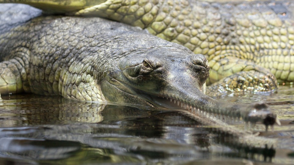 Crocodilien atypique, le gavial est en danger critique d'extinction !