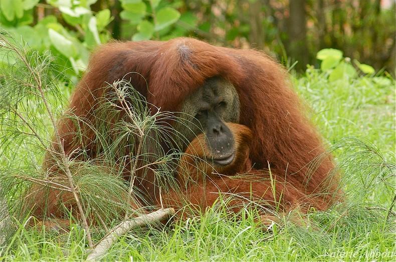 fiche animaux orang outan disney roi louis