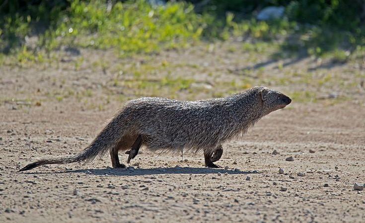 mangouste ichneumon fiche animal animaux poids taille comportement habitat repartition longevite