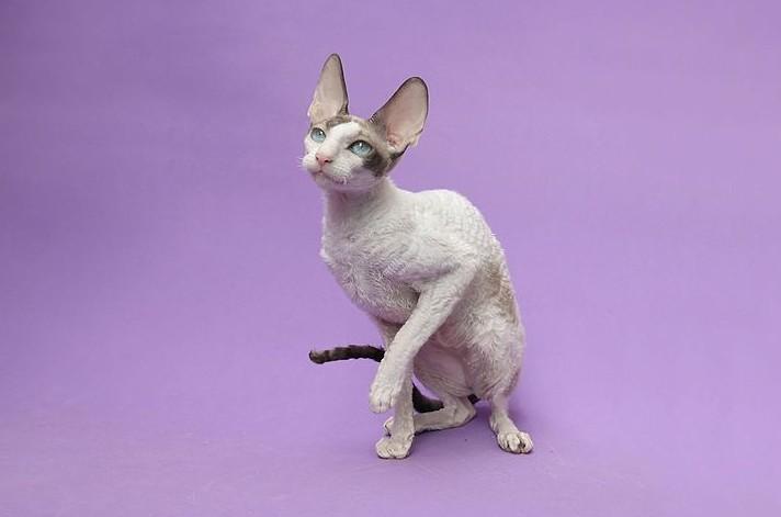 fiche animaux animal de compagnie  cornish rex race de chat sante origine comportement